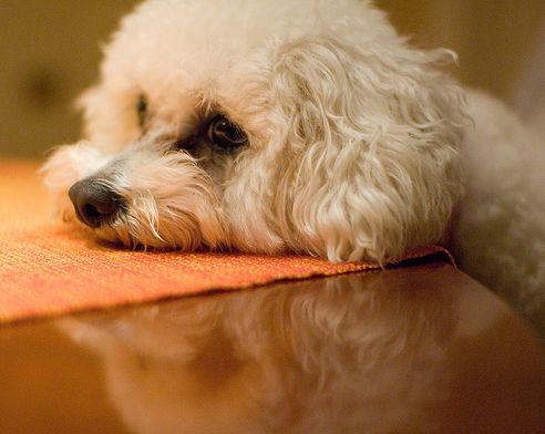 kutya, allergia, terápia