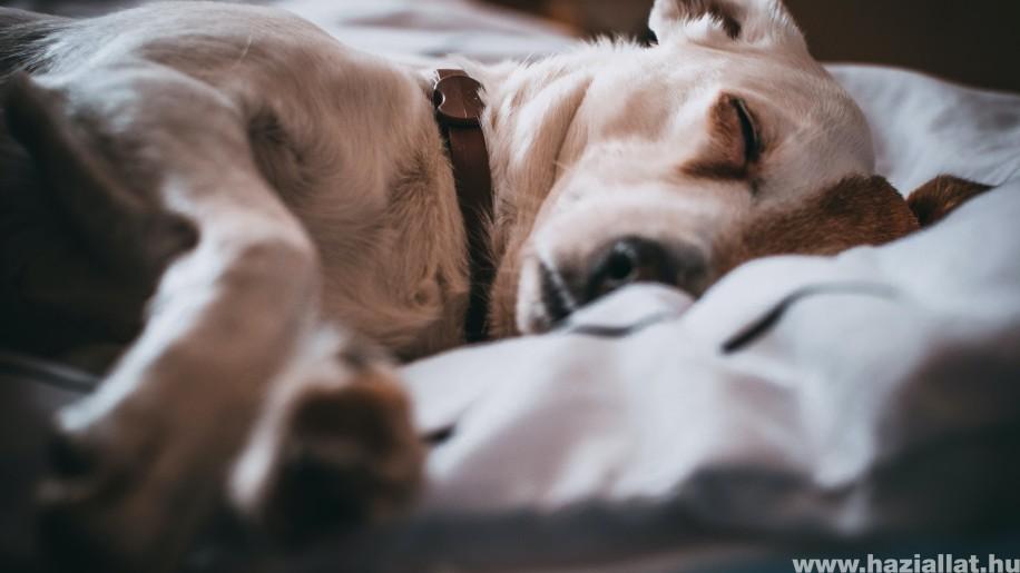 Miről álmodik a kutya, miért nyüszít alvás közben?