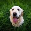 Eblegelő, legelő eb: miért eszi a kutya a füvet?