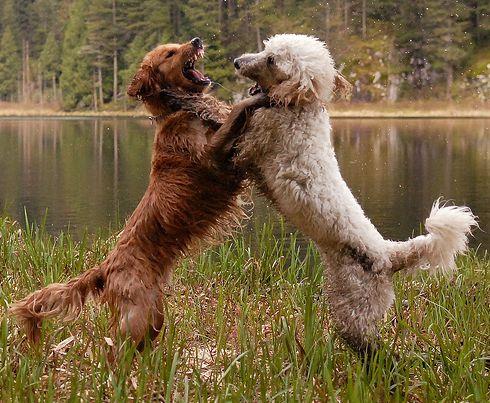 kutya, kutyák, falkavezér