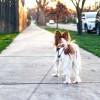Mit tegyünk, ha kutya sétáltat minket?
