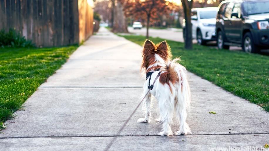Mit tegyünk, ha a kutya sétáltat minket?