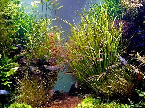 akvárium, halak, levegőztetés