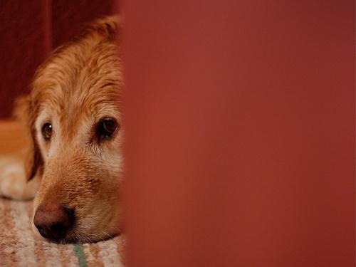 Kukkoló kutya