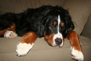 Osteosarcoma (csontrák) a kutyáknál