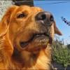 Kutyáknál előforduló heredaganatok