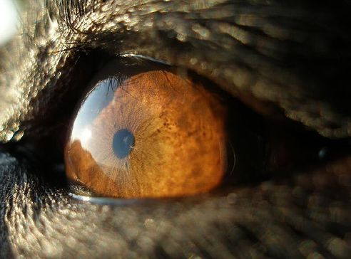 glaukóma, kutya, szem