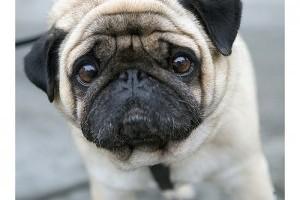 Hemangioszarkóma kutyánál
