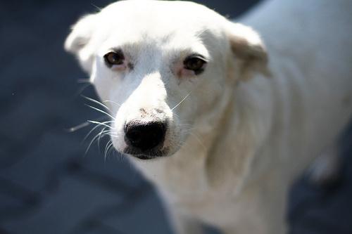 Szomorú fehér kutyus