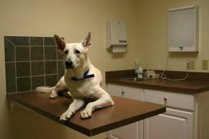 Limfóma (nyirokcsomó megnagyobbodás) a kutyáknál