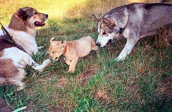 oroszlan-es-kutya