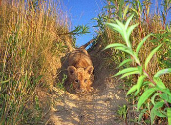 oroszlan-kepek