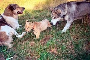 Dzsamillah, a győri oroszlánkölyök