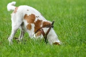 Miért ássa el a kutya a csontot? - videóval