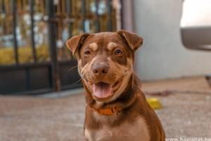 Amikor a kutya a székletét elfogyasztja: koprofágia