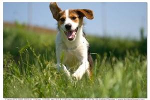 A kutyák reumás izületi gyulladása (rheumatoid arthritise; gyulladásos autoimmun betegség)