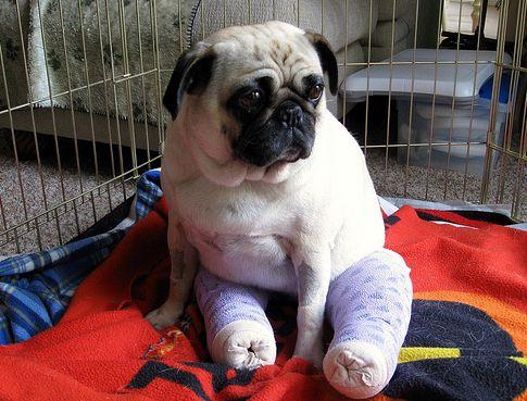 kutya, műtét, ficam