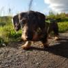 A kutya térdkalács ficama