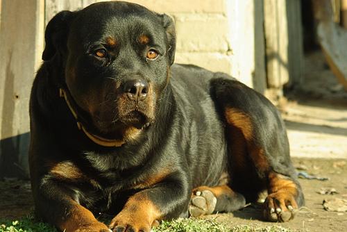 Morcos kutya