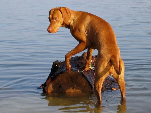 Vizsla a vízben