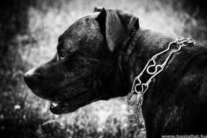 Kutyafelszereles: hogyan tegyük fel a fojtónyakörvet a kutyára?