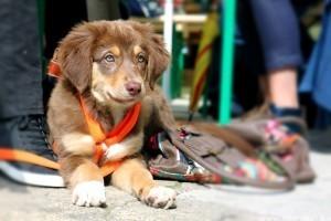 Kutyafelszerelés: hogyan szoktassuk hozzá a kiskutyát?