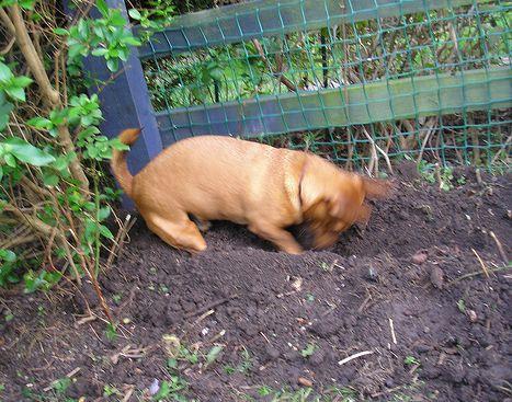 kutya, ásás, kert