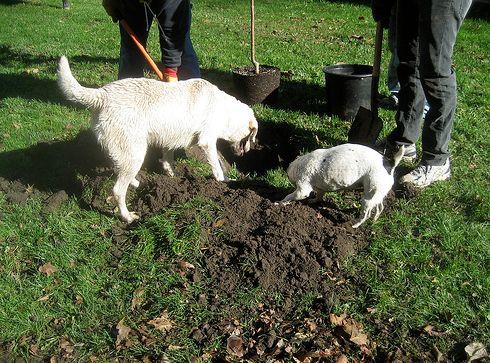 kutya, kert, ásás