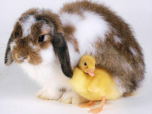 nyúl, kacsa, húsvét