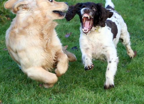 Játszó kutyák