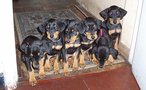 dobermann, kiskutya, kutya