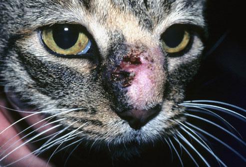 macska, fertőzés, bőrgomba