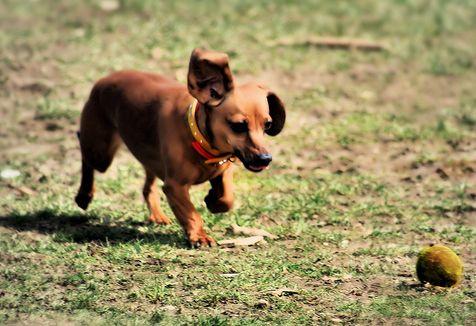 kutya, labda, agility