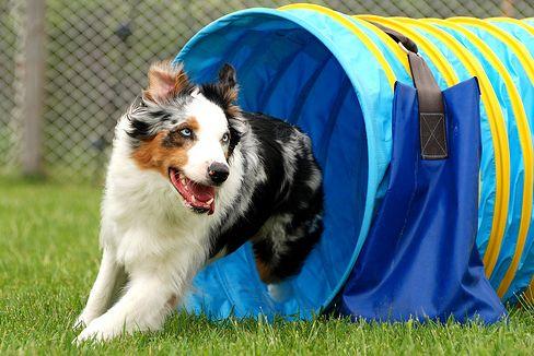 kutya, edzés, agility