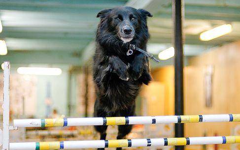 kutya, nevelés, agility