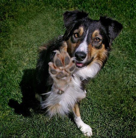 kutya, nevelés, idomítás