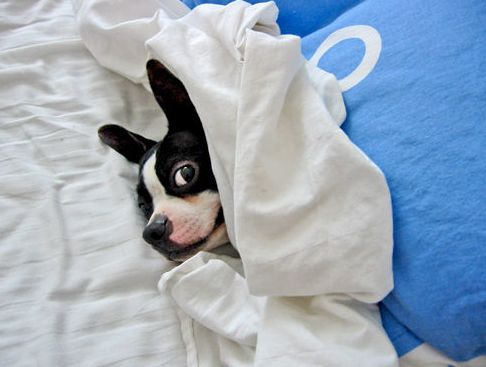 thrombocytopenia, kutya, beteg