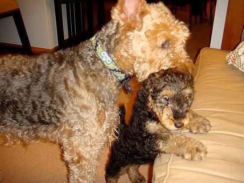 airedale terrier, kiskutya, kölyök