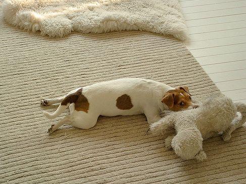 kutya, betegség, porckorong