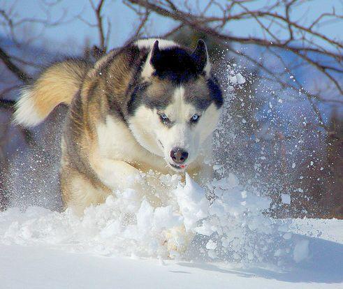 Szibériai husky, kutya, szánhúzó
