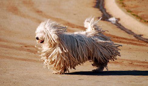 puli, kutya