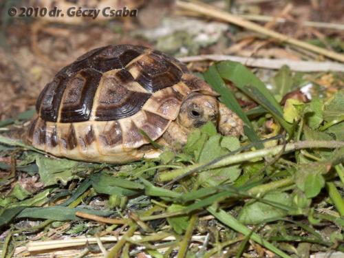 éhes teknős, szárazföldi teknős