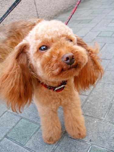 Brussel Griffon-terrier