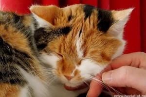 Miért dorombol a cica?