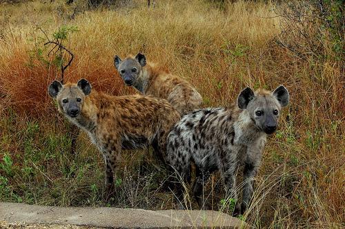 hiena-csapat