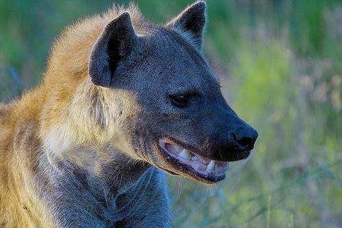 kacago-hiena
