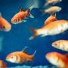 A halak túletetése