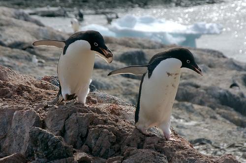 ket-pingvin