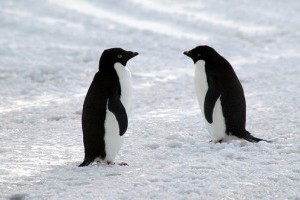 Az Adélie pingvin (Pygoscelis adeliae)