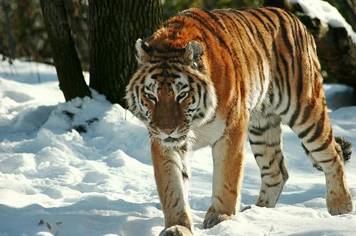 sziberiai-tigris-a-hoban